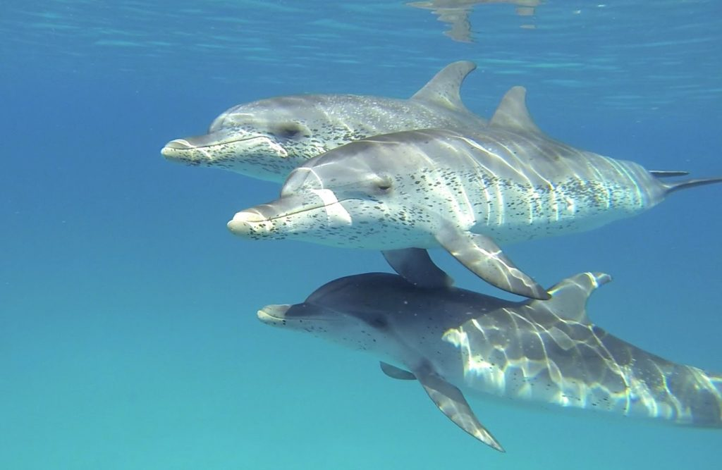 Atlantic Spotted Dolphins by Tenerife