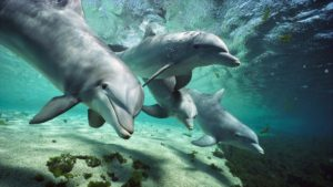Bottlenose Dolphin - take a 5-6 hours long Whale & Dolphin Watching boat trip or private boat charter in Tenerife to see them.